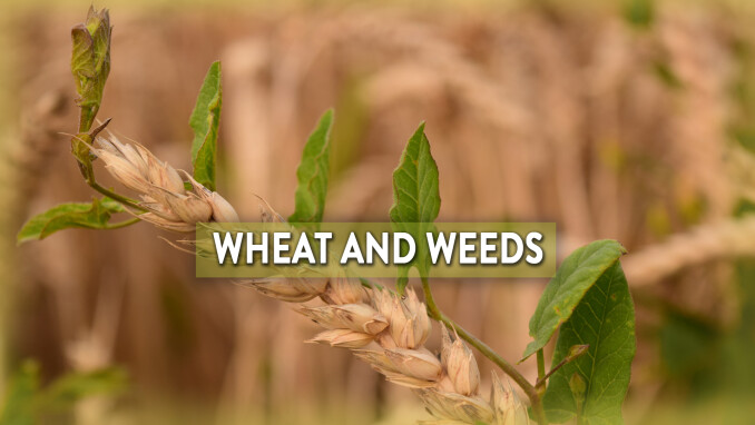 Short Stories, Big Lessons: Wheat and Weeds